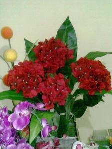 Hortinesia Merah